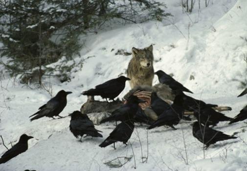 a12018_raven_wolf_01
