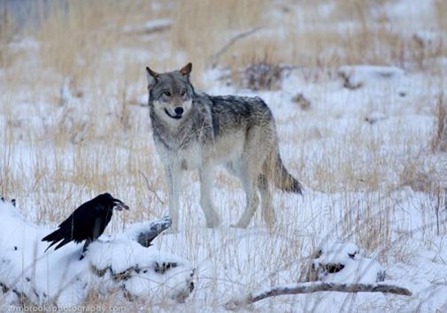 a12018_raven_wolf_02