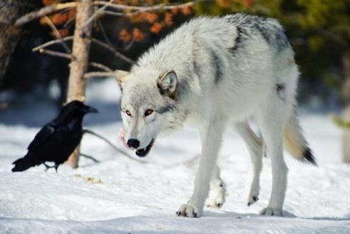 a12018_raven_wolf_03